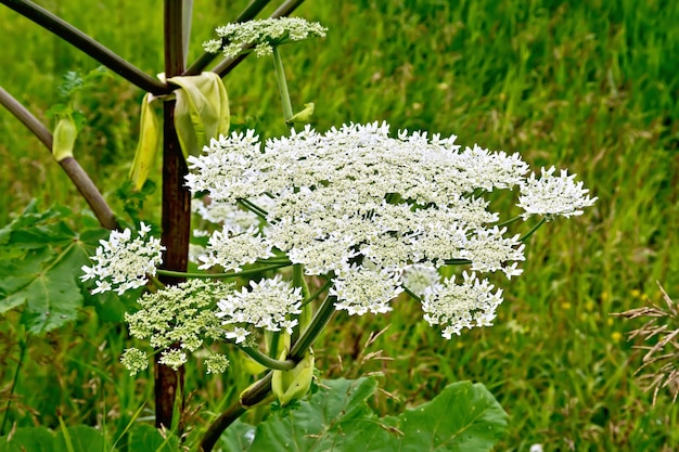 Blooming of white flowers the umbrella heracleum sosnowski on the background of green grass