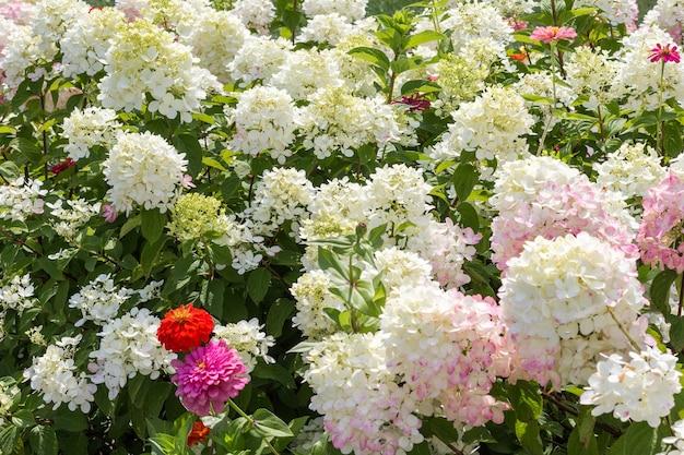咲く白いアジサイと赤い百日草。花の背景