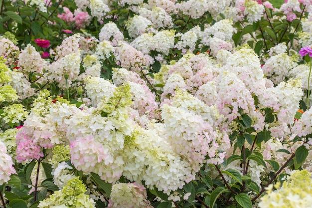 咲く白いアジサイがクローズアップ。花の背景