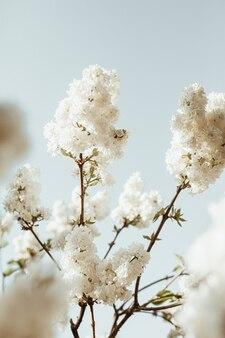 咲く白いライラックの花の茂み。自然な夏の花の構成。