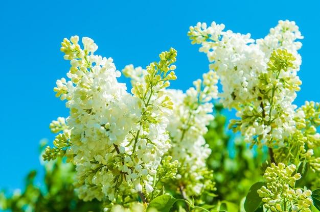 푸른 하늘에 대 한 봄 분기에 피는 흰색 라일락