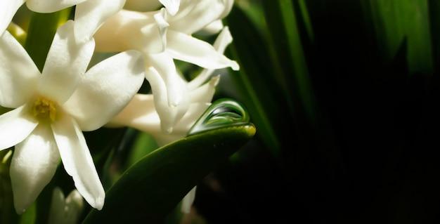 公園で春に咲く白いユリ。