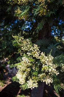 Blooming white mimosa on tree branch