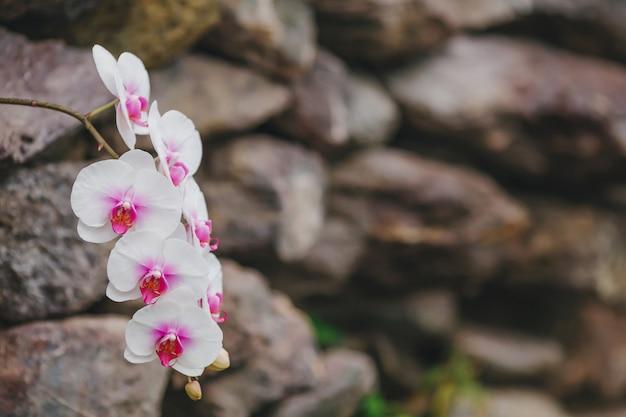 ぼやけた壁に白い蘭の花が咲く