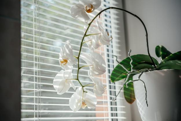 Цветущая белая орхидея комнатное растение в окне ванной со ставнями, фаленопсис или орхидея-моль при рассеянном естественном свете оконных ставен, орхидеи легко выращивать как домашние растения