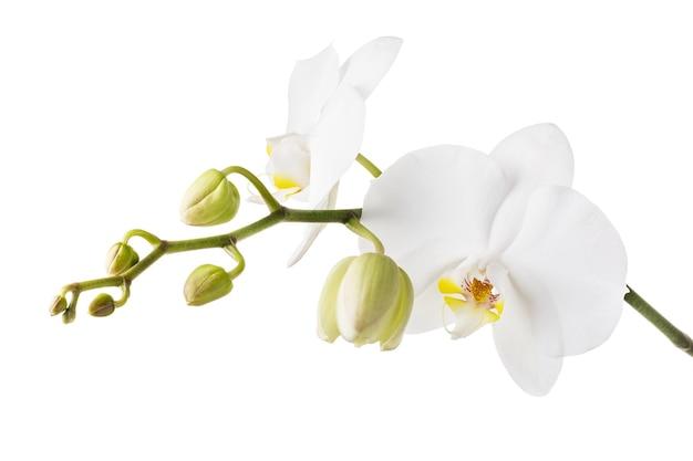 아름다운 개화 꽃의 배경 지점에서 격리된 개화 흰 난초