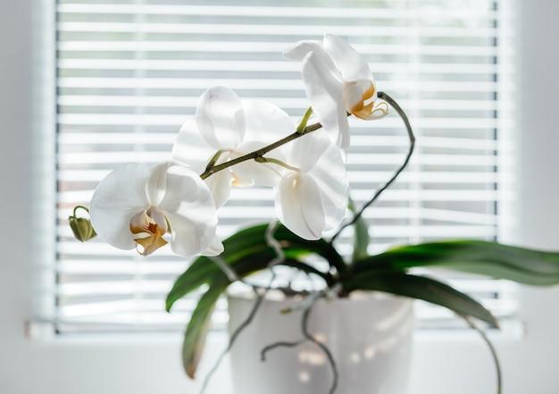 창턱에 피는 흰 난초. 블라인드 창 배경에 호 접입니다. 가정 꽃 식물
