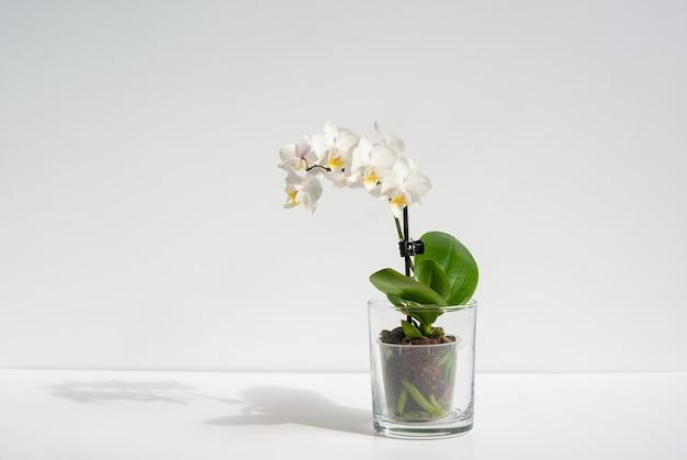 그림자와 함께 테이블에 투명 냄비에 피는 흰 난초 식물