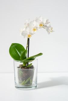 테이블에 투명 냄비에 피는 흰 난초 식물