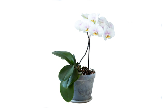 Blooming white orchid in a pot, isolate on a white background, with copy space