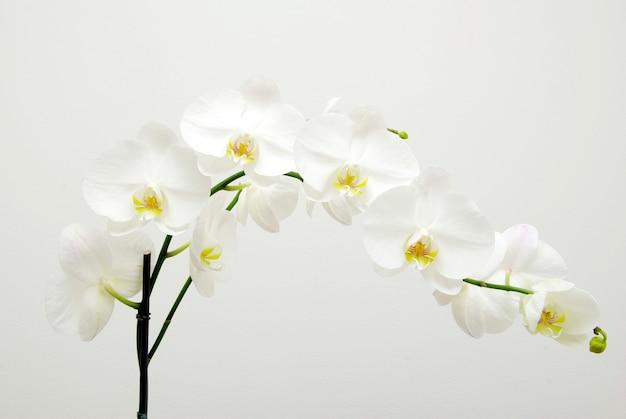 孤立した咲く白い蘭の花