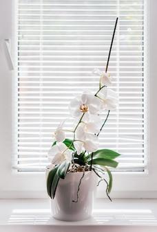 욕실 창턱에 흰 호접란이나 나방 난초가 피고, 블라인드 아래 흰 난초 꽃이 자연광을 확산시키고, 집 식물로 자라기 쉬운 난초
