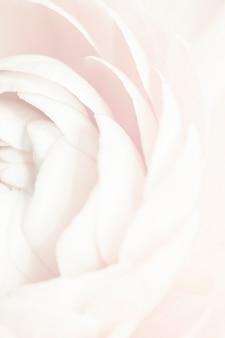 개화 화이트 라넌큘러스 꽃