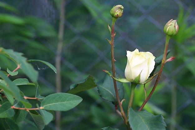 Цветущая белая роза в летнем саду