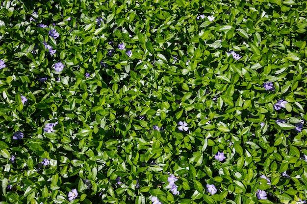 Цветущие дикие синие цветы со свежими зелеными листьями.