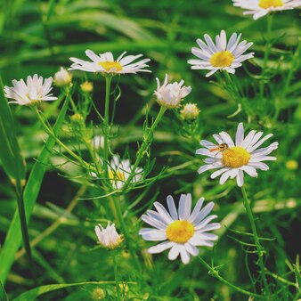 Blooming wild chamomile in the field.