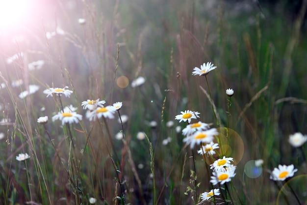 咲く野生の花マトリカリアカモミールまたはマトリカリアレクティタまたはカモミール。一般的にイタリアのカモミール、ドイツのカモミール、ハンガリーのカモミール、夏の牧草地の野生のカモミールとして知られています。