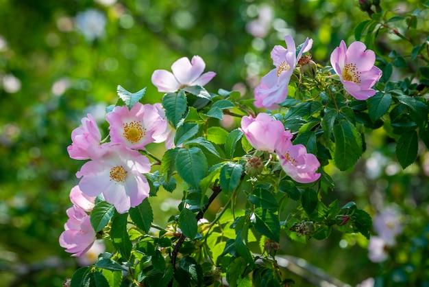 Цветущая дикая роза буша. красивые розовые цветы в лесу летом. полезное лекарственное растение для отвара чая