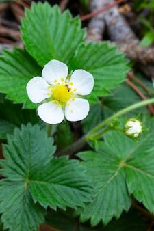 森の茂みに春の花に咲く野生のイチゴ