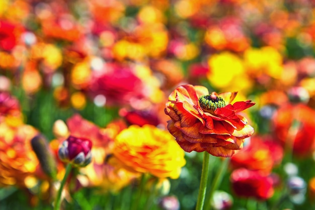 Blooming wildflowers, colorful buttercups on a garden