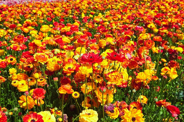 Blooming wildflowers, colorful buttercups on a kibbutz in southern israel