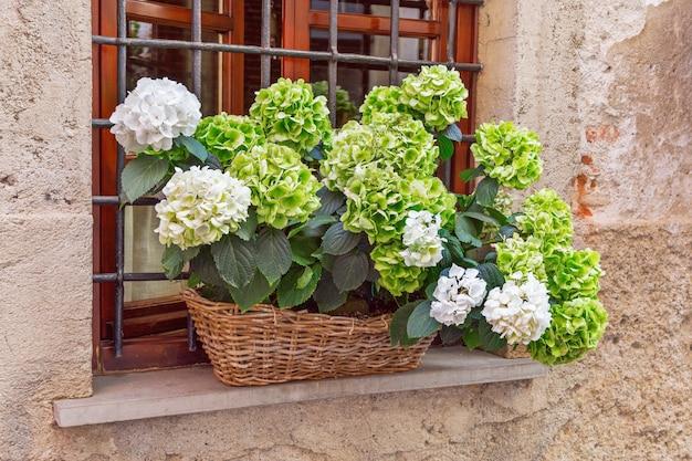 緑の花が咲くアジサイは、籐のかごの中の窓辺に生えています。