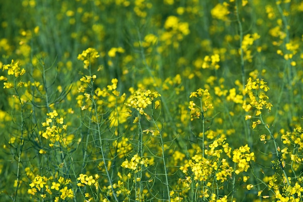 Blooming yellow canola