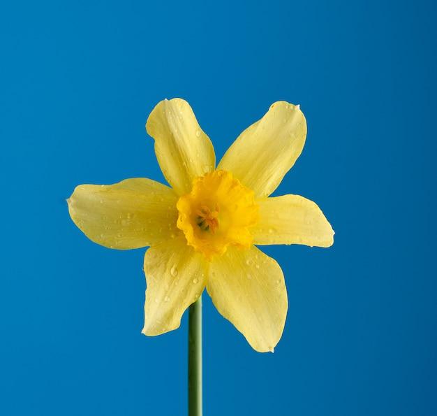 青色の背景、春の花に咲く黄色い水仙の芽
