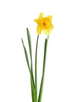 Blooming yellow daffodil isolated on white surface