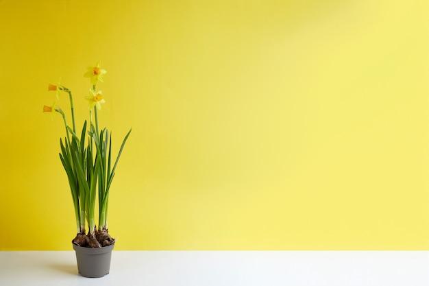 꽃 냄비에 피는 노란 수선화