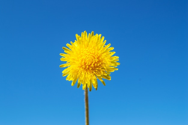 Blooming yellow dandelion against a blue sky on a sunny summer day, ecology concept, copy of space