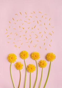 Цветущие желтые цветы одуванчика с лепестками на розовой бумаге плоские лежали с копией пространства