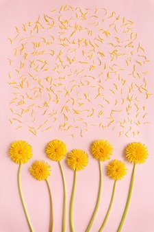 Blooming yellow dandelion flowers with petals on pink paper background flat lay with copy space