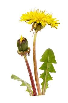 白い背景に分離された咲く黄色のタンポポ