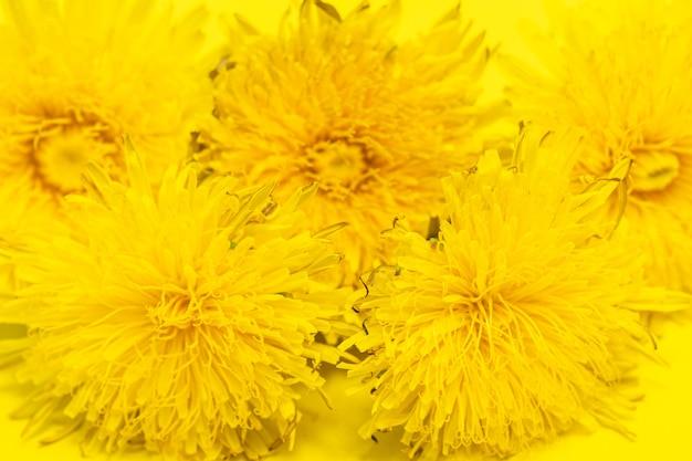 Цветущие желтые одуванчики на желтом фоне, крупным планом, минимализм. может использоваться как естественный цветочный фон, элемент дизайна, обложки, открытки.