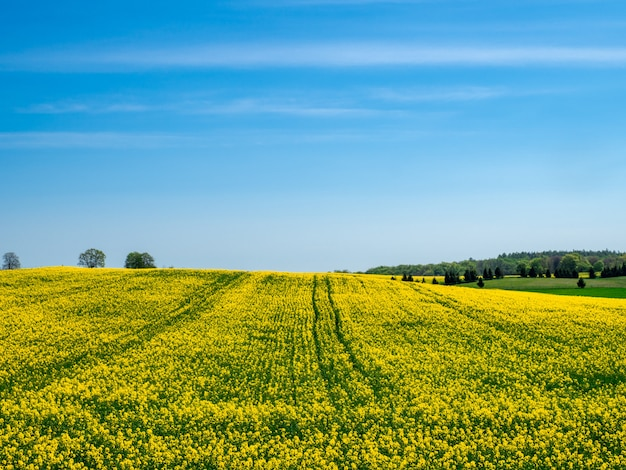 Blooming yellow field on a hill under a clear blue sky