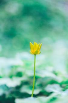 春の低いクサノオウまたはヤマモモ(ficaria verna)の咲く黄色い花