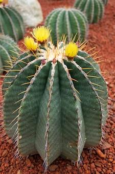 砂漠の公園でサボテンの植物の黄色い花が咲く