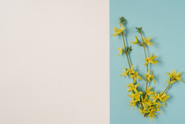 A blooming yellow forsythia branch on a white and blue background. spring card for easter or mother's day