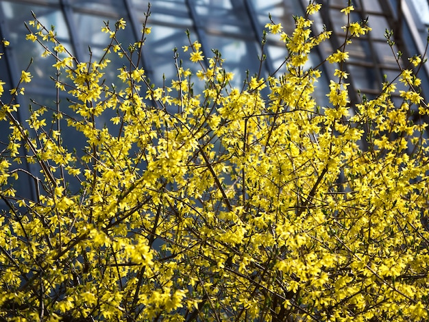 Blooming yellow forsythia. contrasting spring natural background.