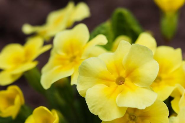 春の庭に咲く黄色いサクラソウ