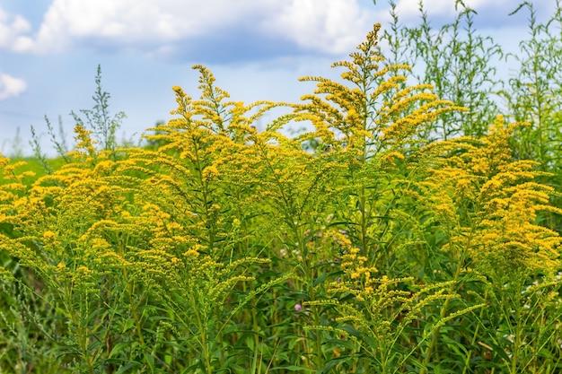 咲く黄色のブタクサの茂み。青空