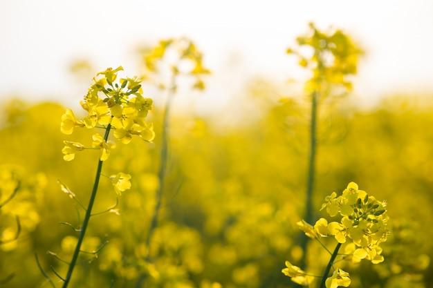 Цветущие желтые растения рапса