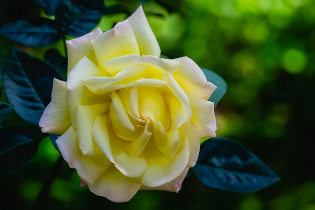 A blooming yellow rose in the garden