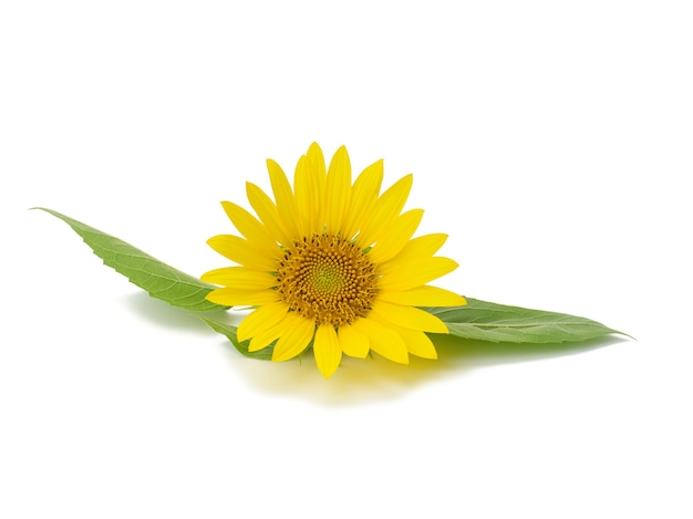Blooming yellow sunflower with green leaves isolated on white background