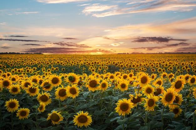 日没直後の夕方の空の下で夏に咲く黄色いヒマワリ