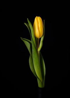 Blooming yellow tulip