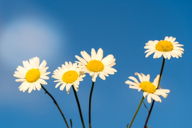 Bloooming chamomile daisy flowers in summer garden over blue sky background.