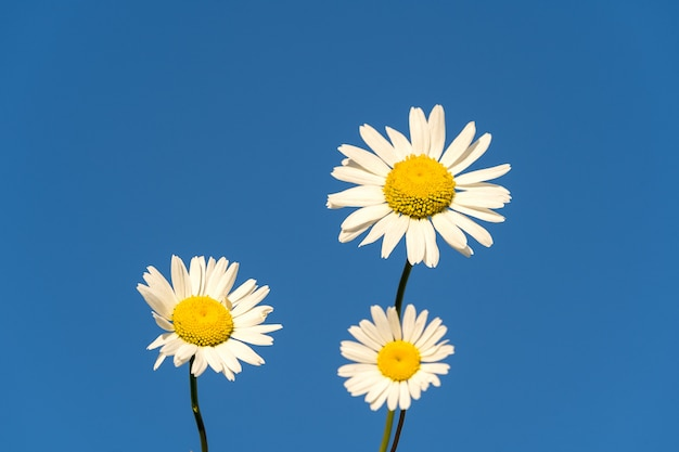 Bloooming chamomile daisy flowers in summer garden over blue sky