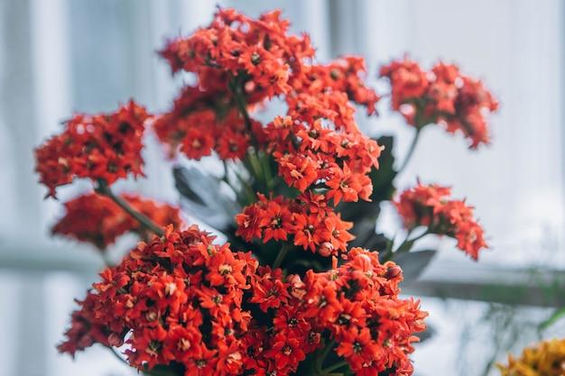 Каланхоэ blossfeldiana (каландива, flaming katy, флорист каланхоэ) кораллово-оранжевые цветы. красочные маленькие цветки каланхоэ крупным планом.
